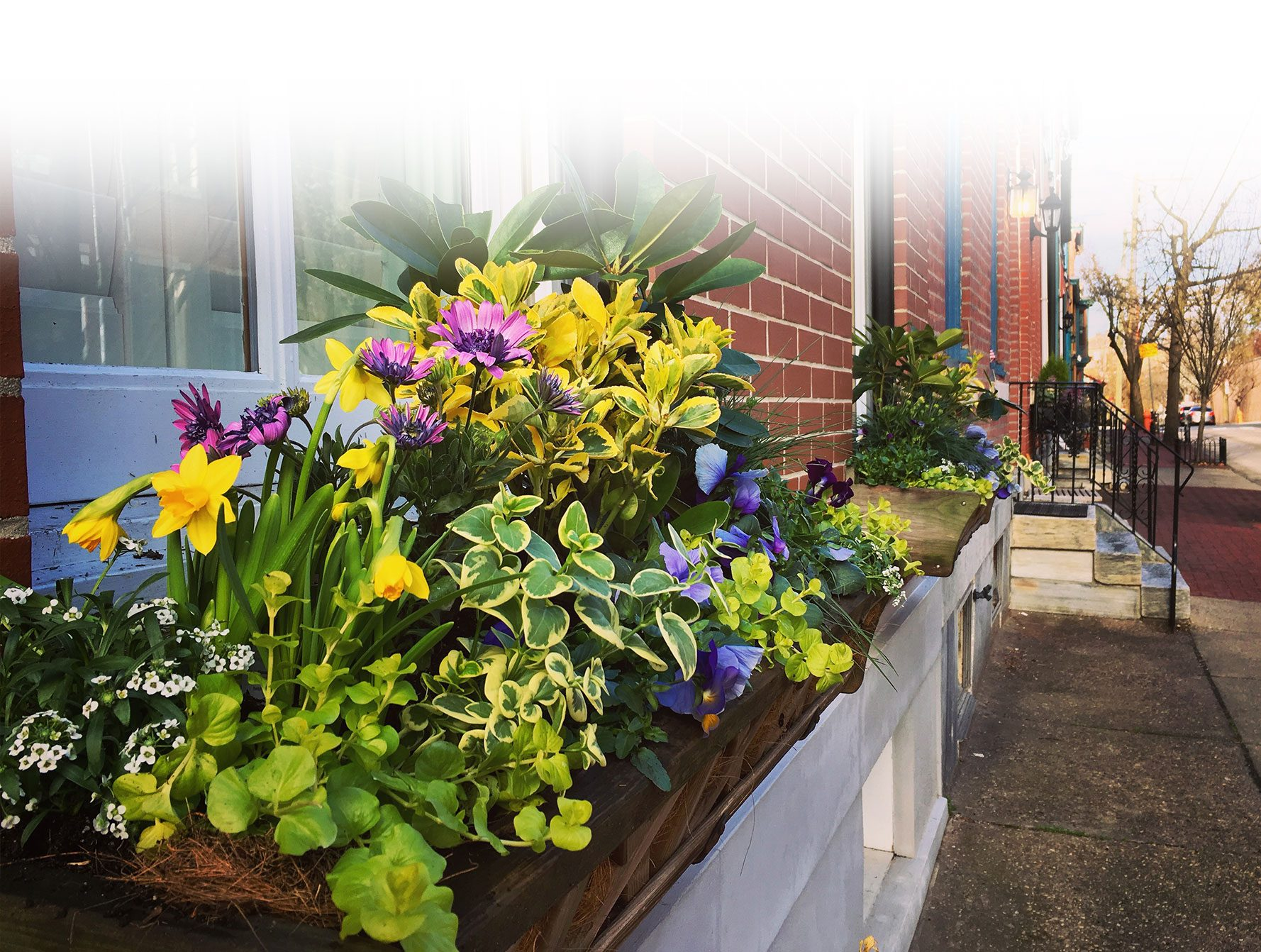 Yellow and Purple Front Window Box Spring Arrangements